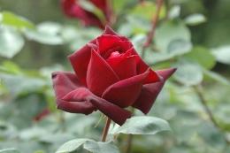 rose004